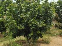 Five-year hazelnut tree