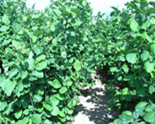 Hazelnut Garden of Liaoning Fruit Tree Institute (6 years old)