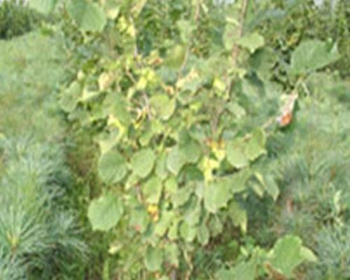 Hazelnut biennial tree bearing fruit