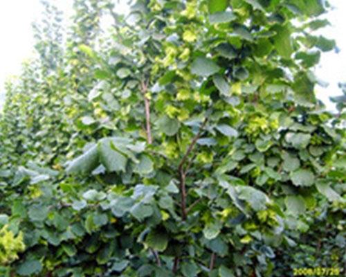 Hazelnut seedling varieties, davy hazelnut seedlings