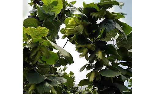 Hazelnut fruit