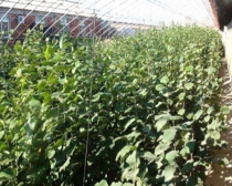 Large hazelnut seedlings, hybrid hazelnut seedlings