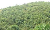 Hybrid hazelnut seedlings, mountain hazel garden