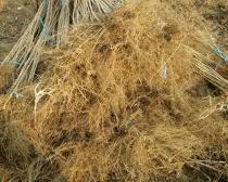 Root system of hazelnut seedlings