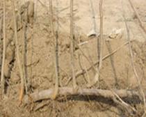 Hazelnut horizontal seedlings in autumn growth