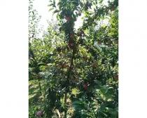 Guofeng Seventeen Plum Tree