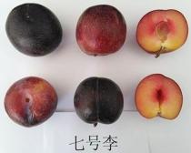 Guofeng 7 Plums