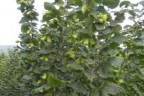 Hazelnut seedlings of Liaoning Fruit Institute