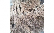 Hazelnut seedlings