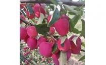 Chicken Heart Fruit